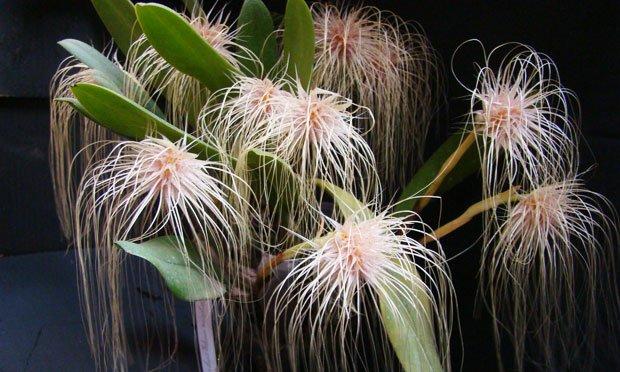 Espécie de orquídeas brancas: bulbophyllum-medusa