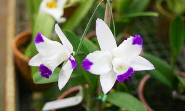 Espécie de Orquideas Brancas: orquidea cattleya haw yuan angel.