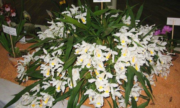 Espécie de Orquideas Brancas: orquídea coelogyne-cristata.