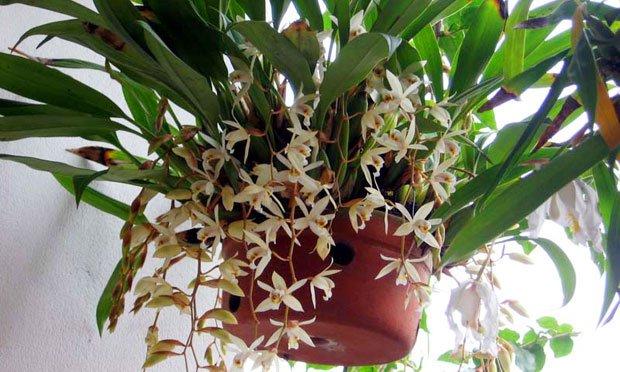 Espécie de Orquideas Brancas: orquidea coelogyne flaccida.