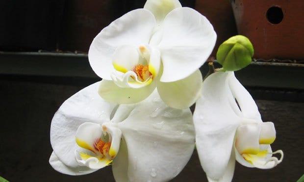 Espécie de Orquideas Brancas: orquidea phalaenopsis amabilis.