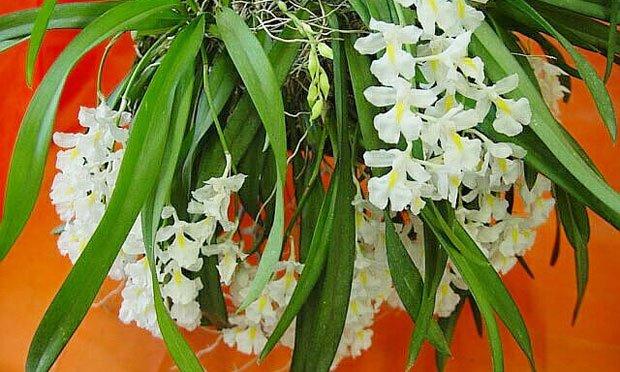 Espécie de Orquideas Brancas: orquidea rodriguezia venusta.