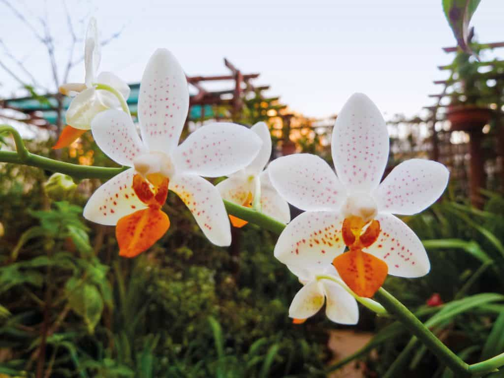 Existem folhas reduzidas ou modificadas que ajudam a identificar as orquídeas pelas folhas,