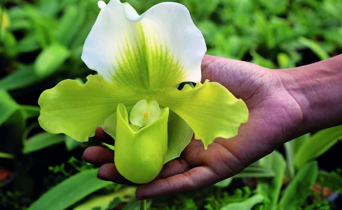 Você pode tentar entender como identificar orquídeas pelas folhas mas também por outras estruturas.