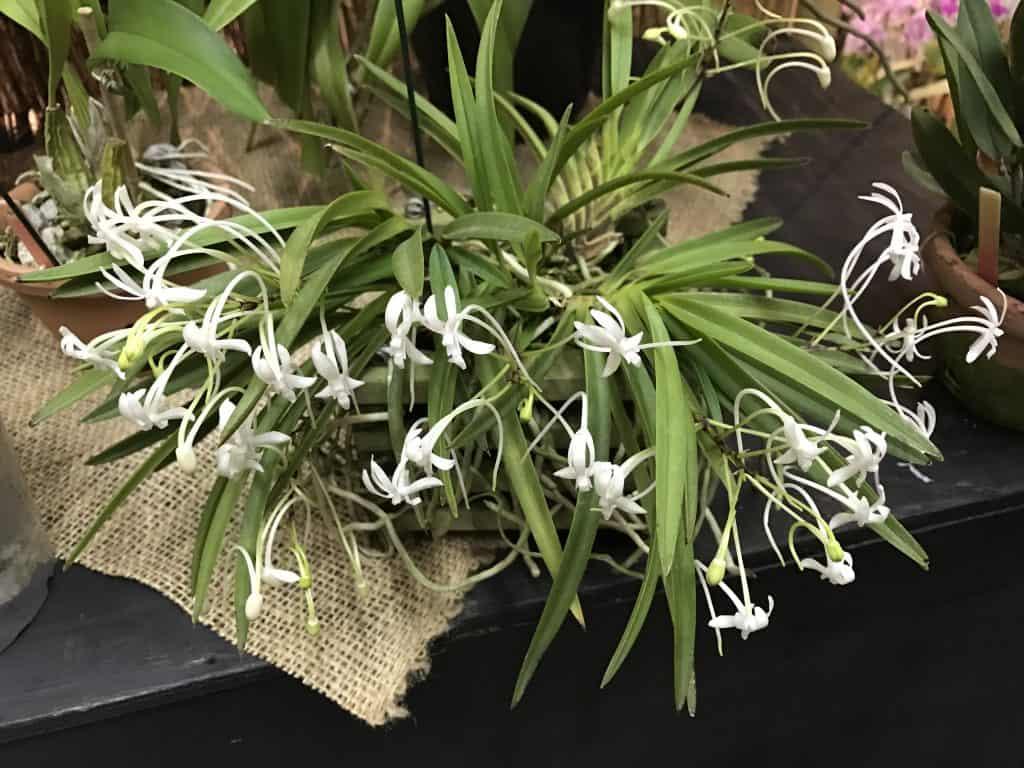 É possível identificar orquídeas pelas folhas conhecendo a sua morfologia.