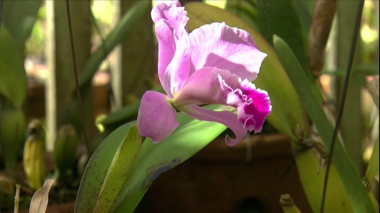 Sabendo algumas características você consegue ter como identificar orquídeas pelas folhas,
