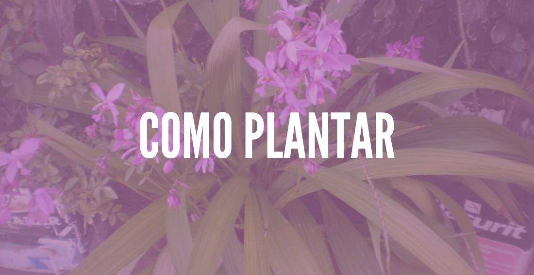 Como plantar Orquídeas Terrestres