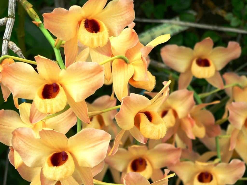 Existem muitas espécies de orquídea Dendrobium.