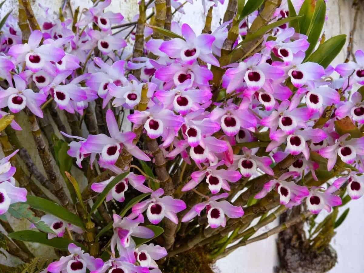 A orquídea Dendrobium possui muitas espécies.