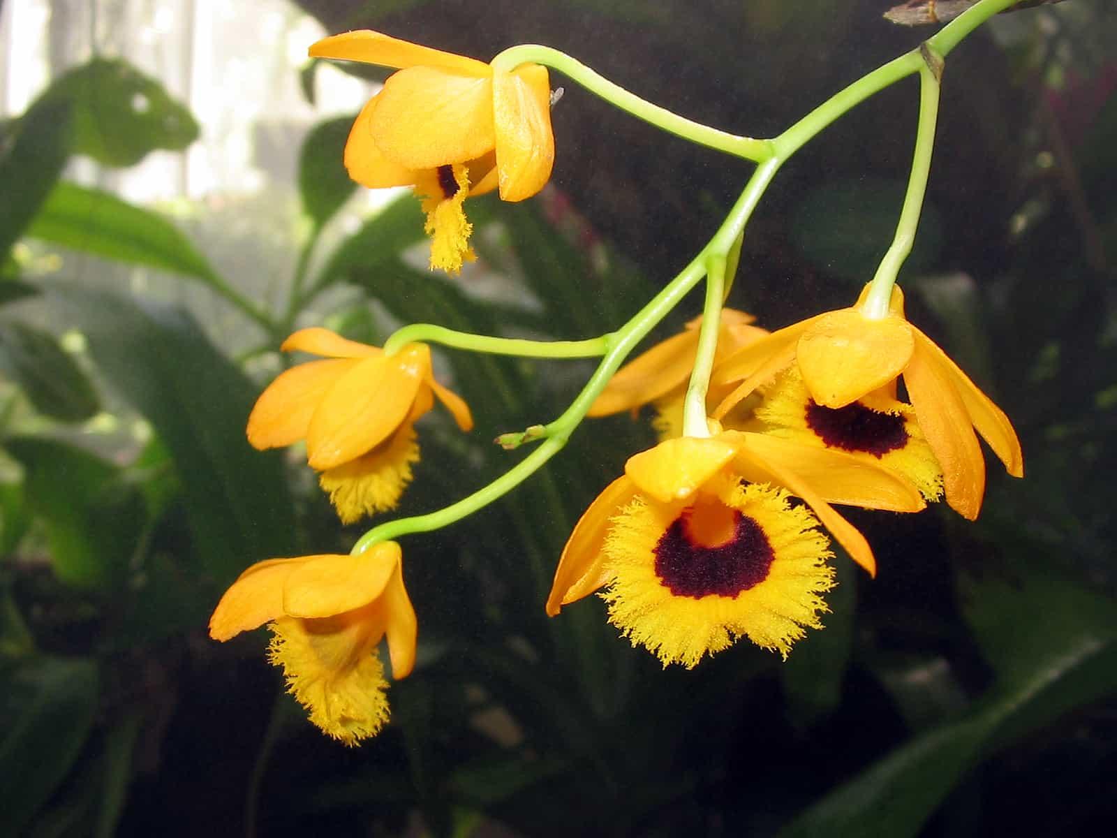 Em geral, orquídea Dendrobium são de fácil cultivo.