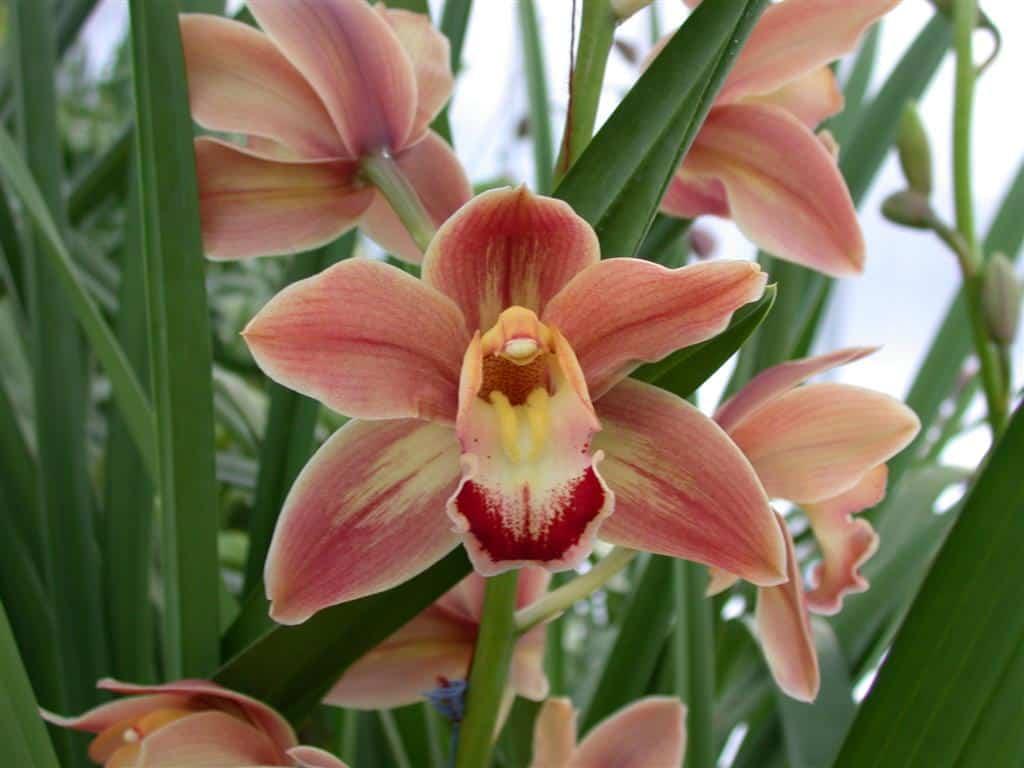 Orquídeas terrestres: Cymbidium