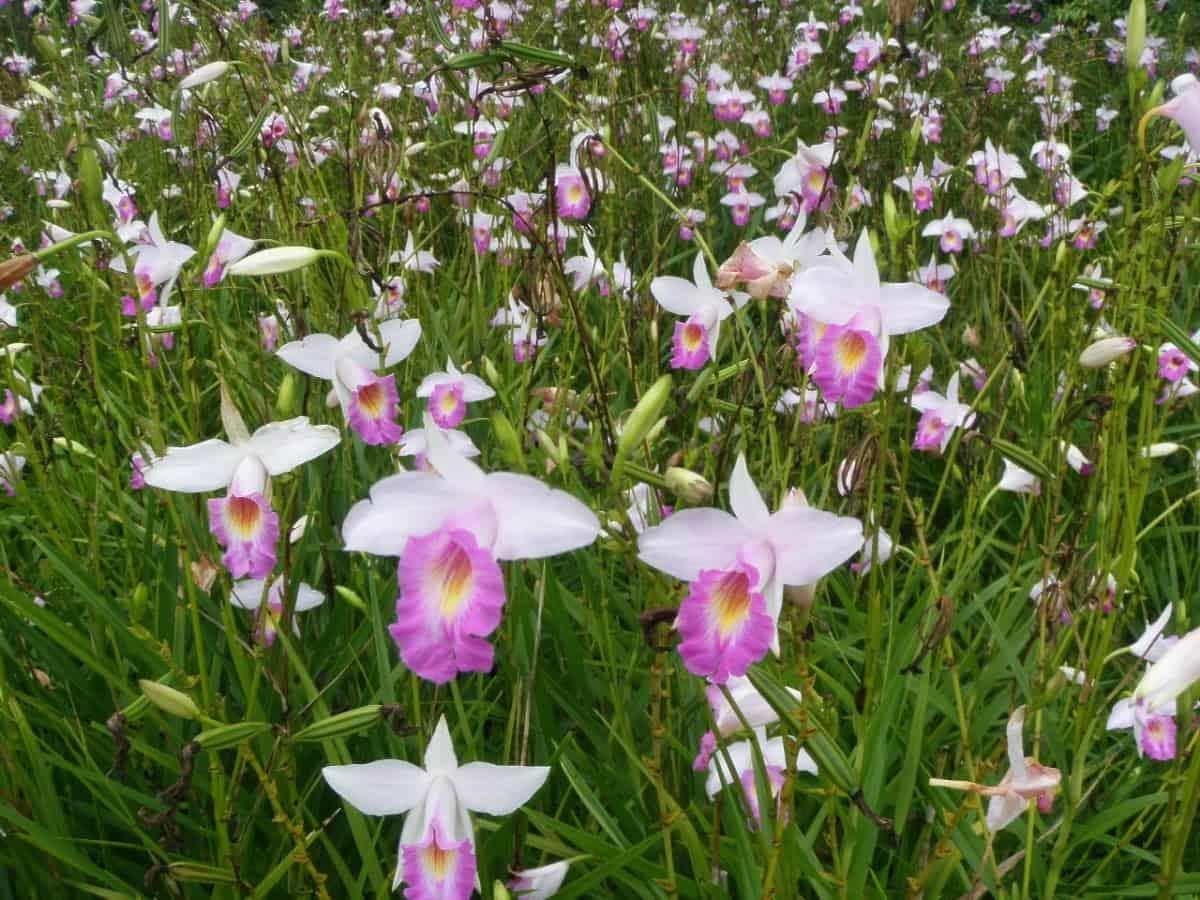 Orquídeas terrestres: Arundina ou orquídea bambu.