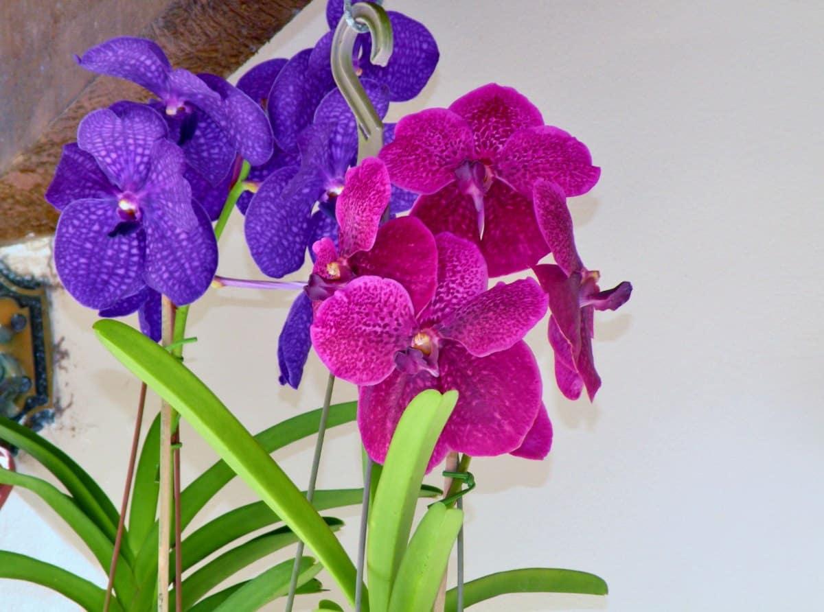 Orquídea Vanda em Vaso suspenso.