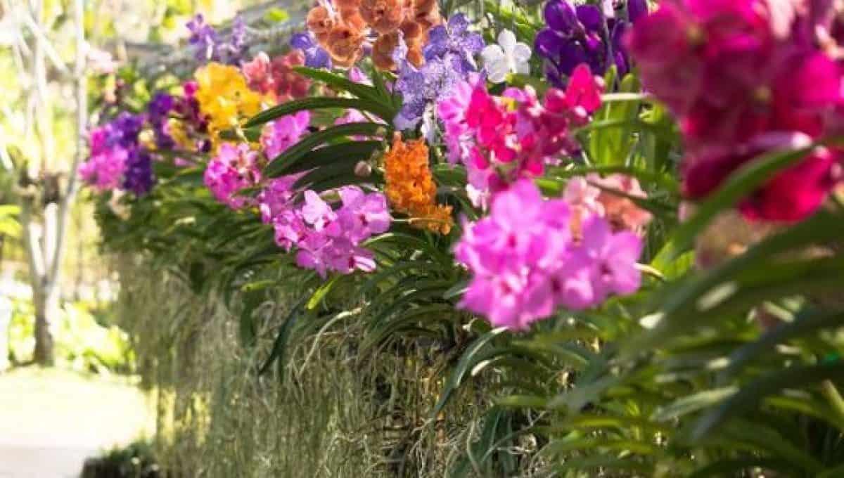 Orquídea Vanda de várias cores diferentes plantadas em muro suspenso.