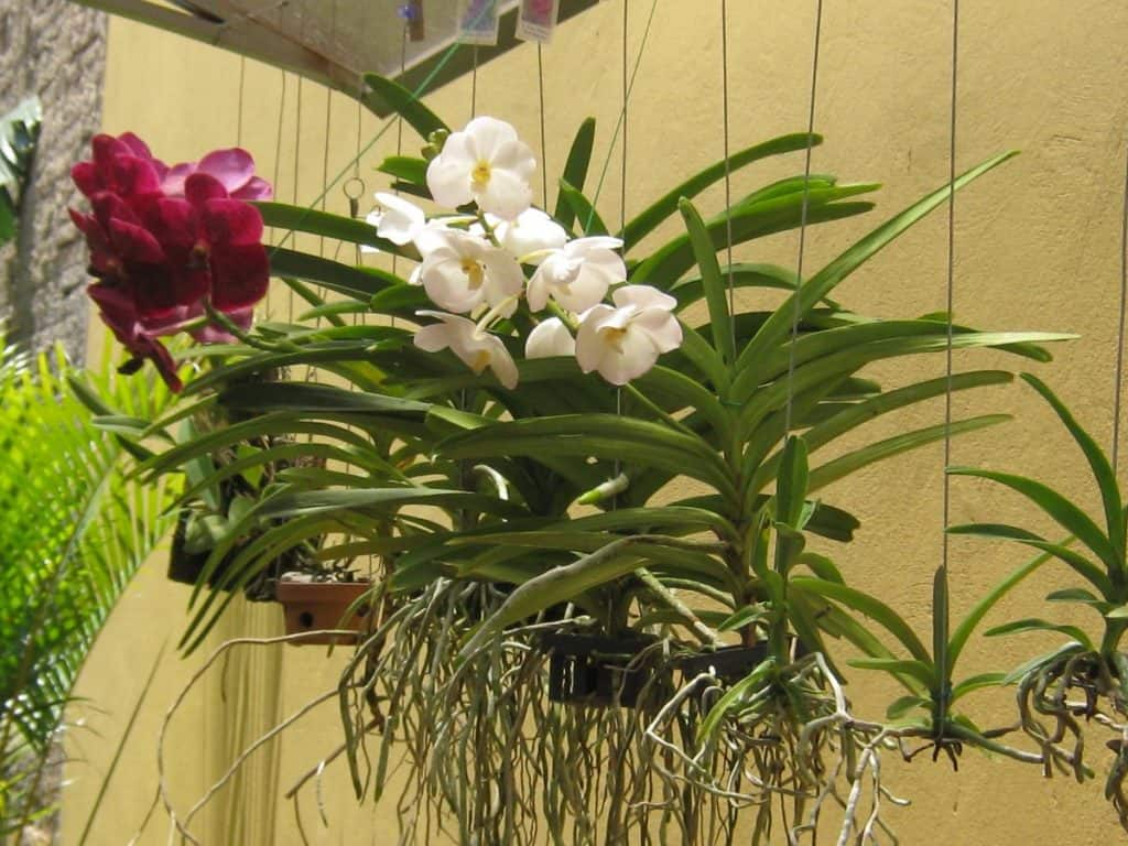 Espécies de orquídea Vanda suspensas com raízes livres.