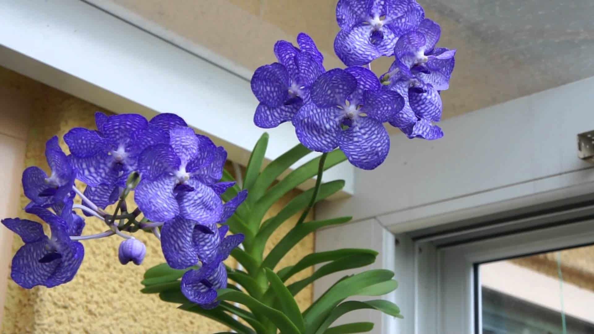 Orquídea Vanda coerulea, a orqúidea azul.