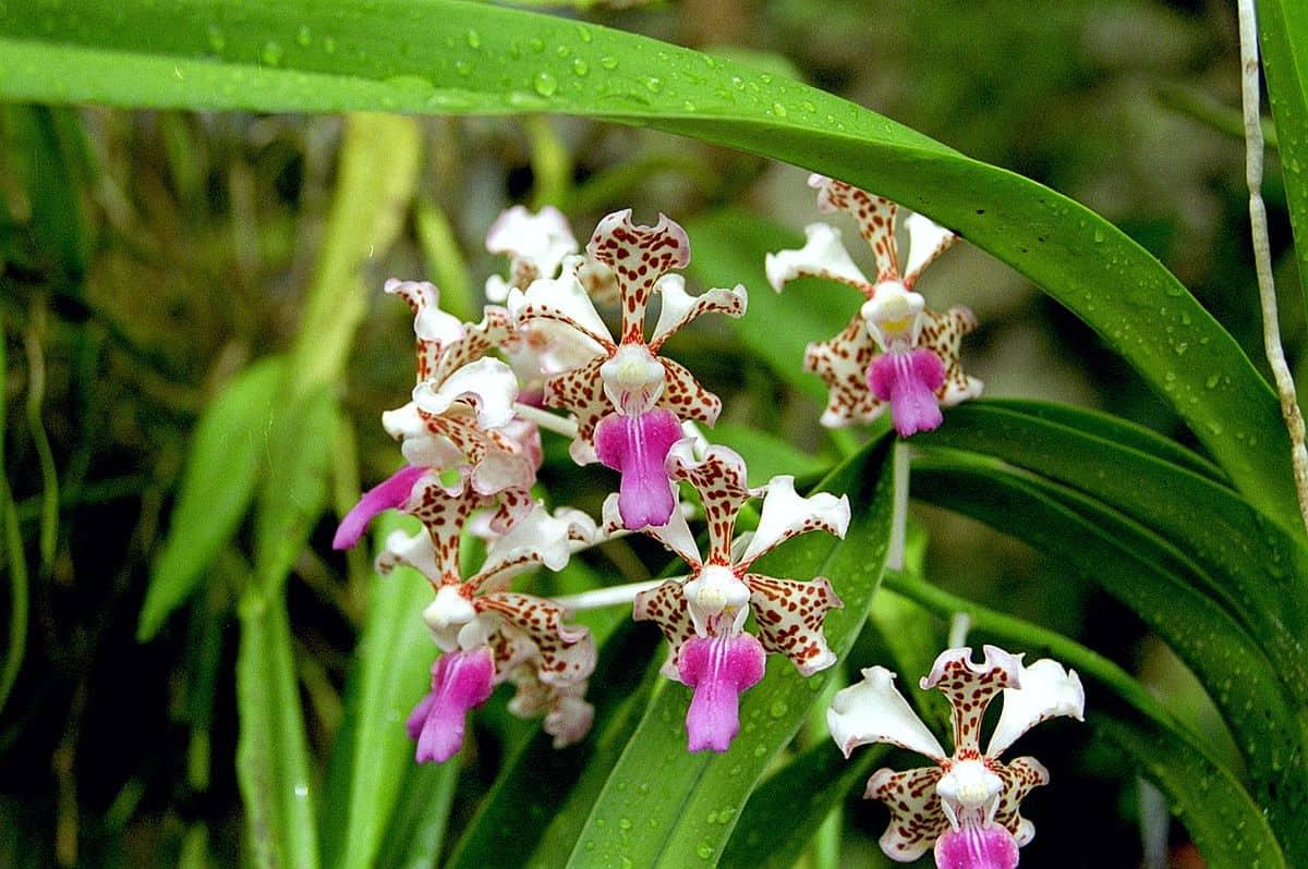 Orquídea Vanda de flores minúsculas, tricolor.