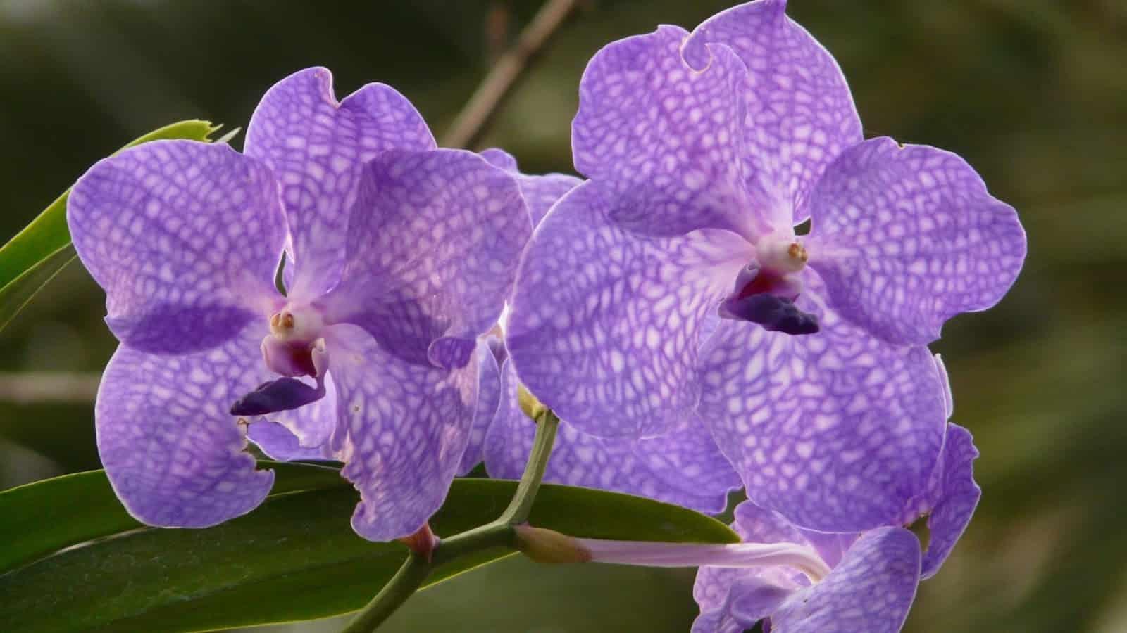 Dependendo da espécie de orquídea Vanda, os cuidados devem ser especiais.