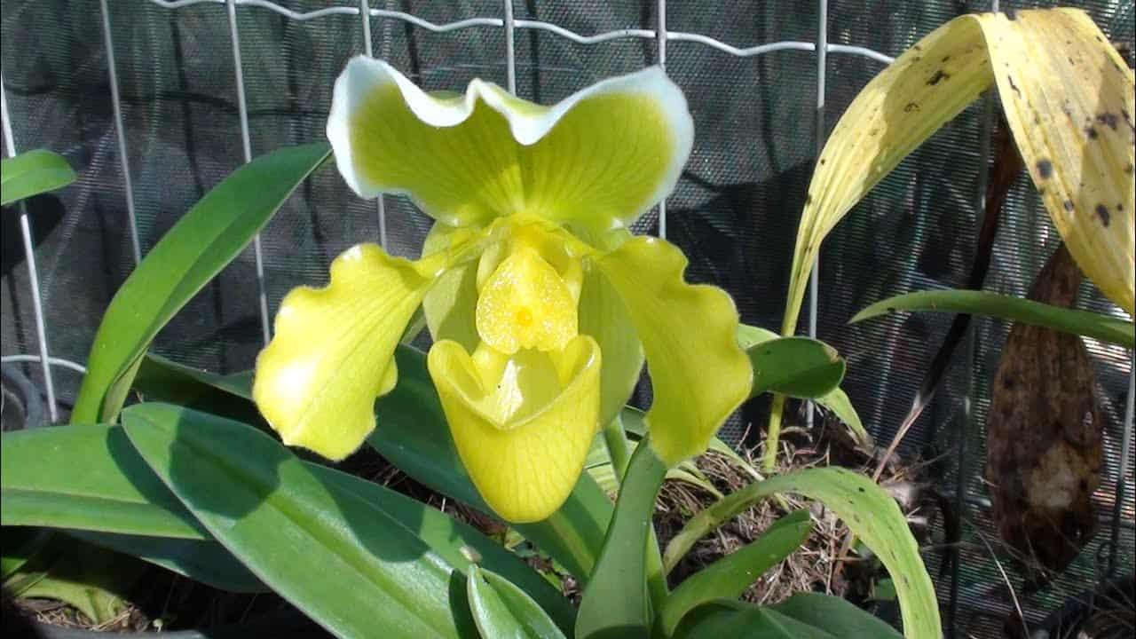 O tipo de substrato da orquídea sapatinho pode variar, mas deve ser poroso e bem drenado.