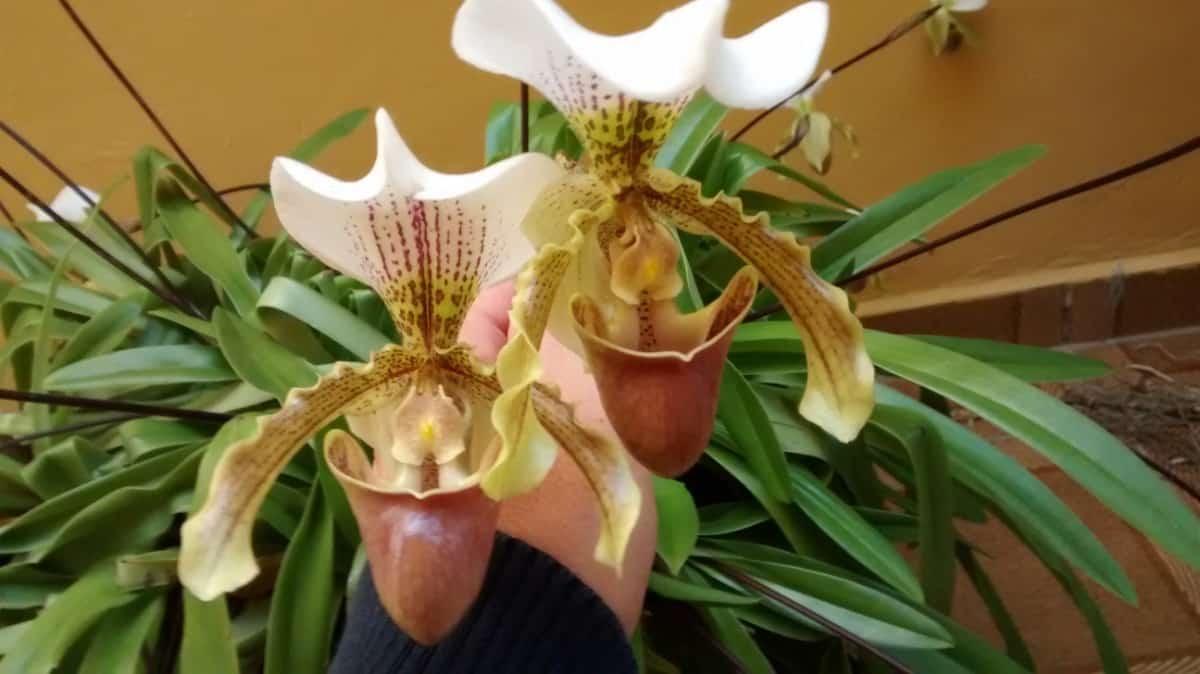 É preciso cuidado ao regar a orquídea sapatinho para não afogá-la e nem matar de sede.