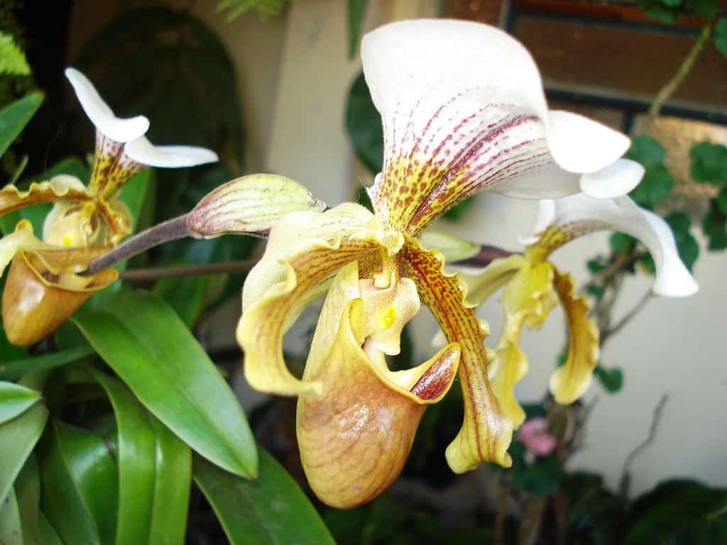 Cuidar de uma orquídea sapatinho não chega a ser difícil ou muito diferente de outras espécies.