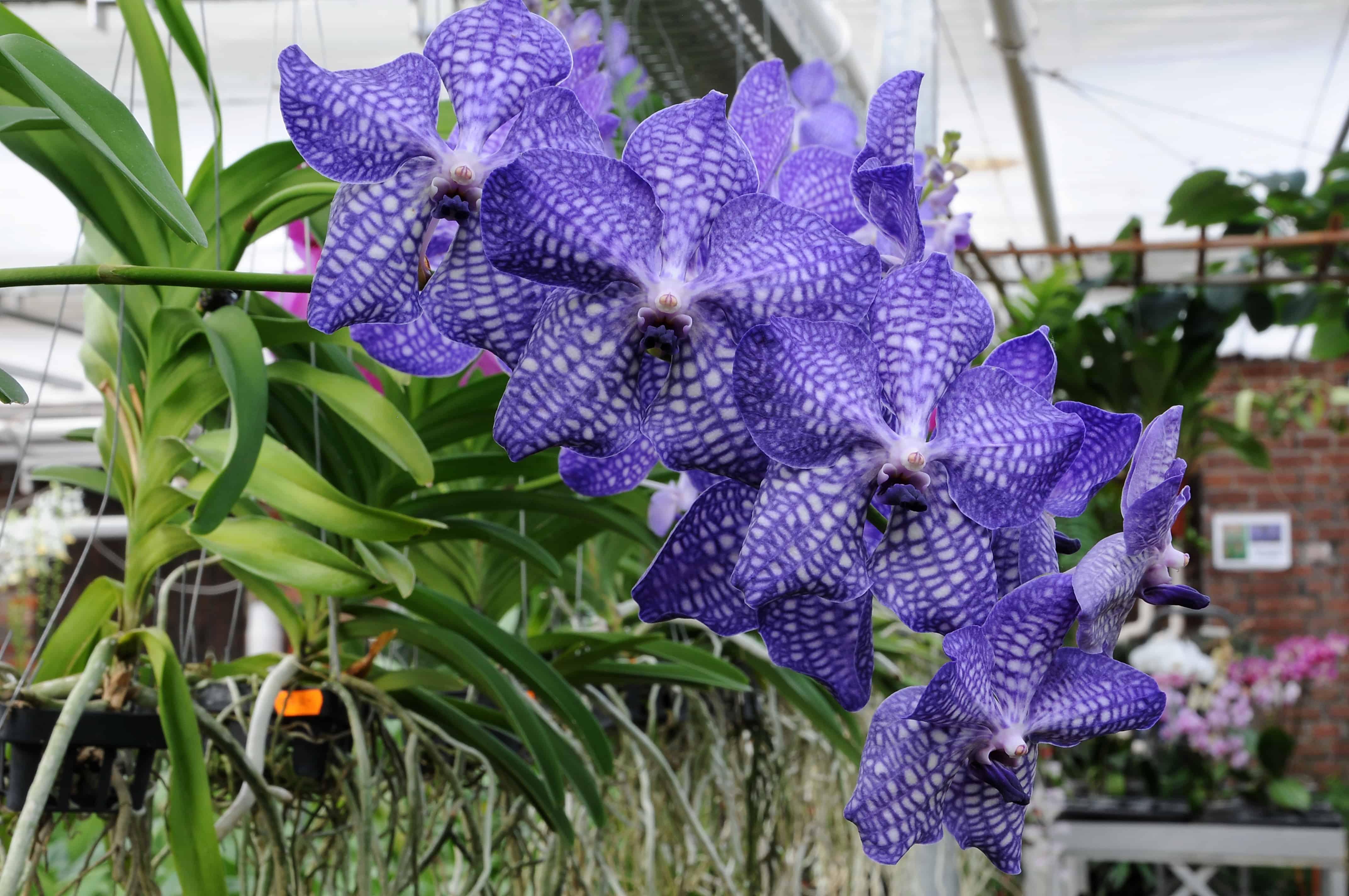 Orquídea Vanda coerulea é uma raridade na natureza e muito cobiçada.