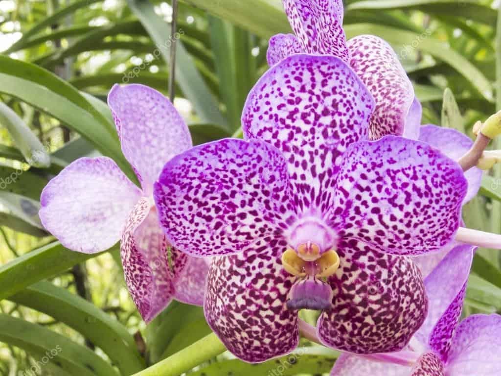 orquídea vanda de roxo intenso e pintas marcadas características.