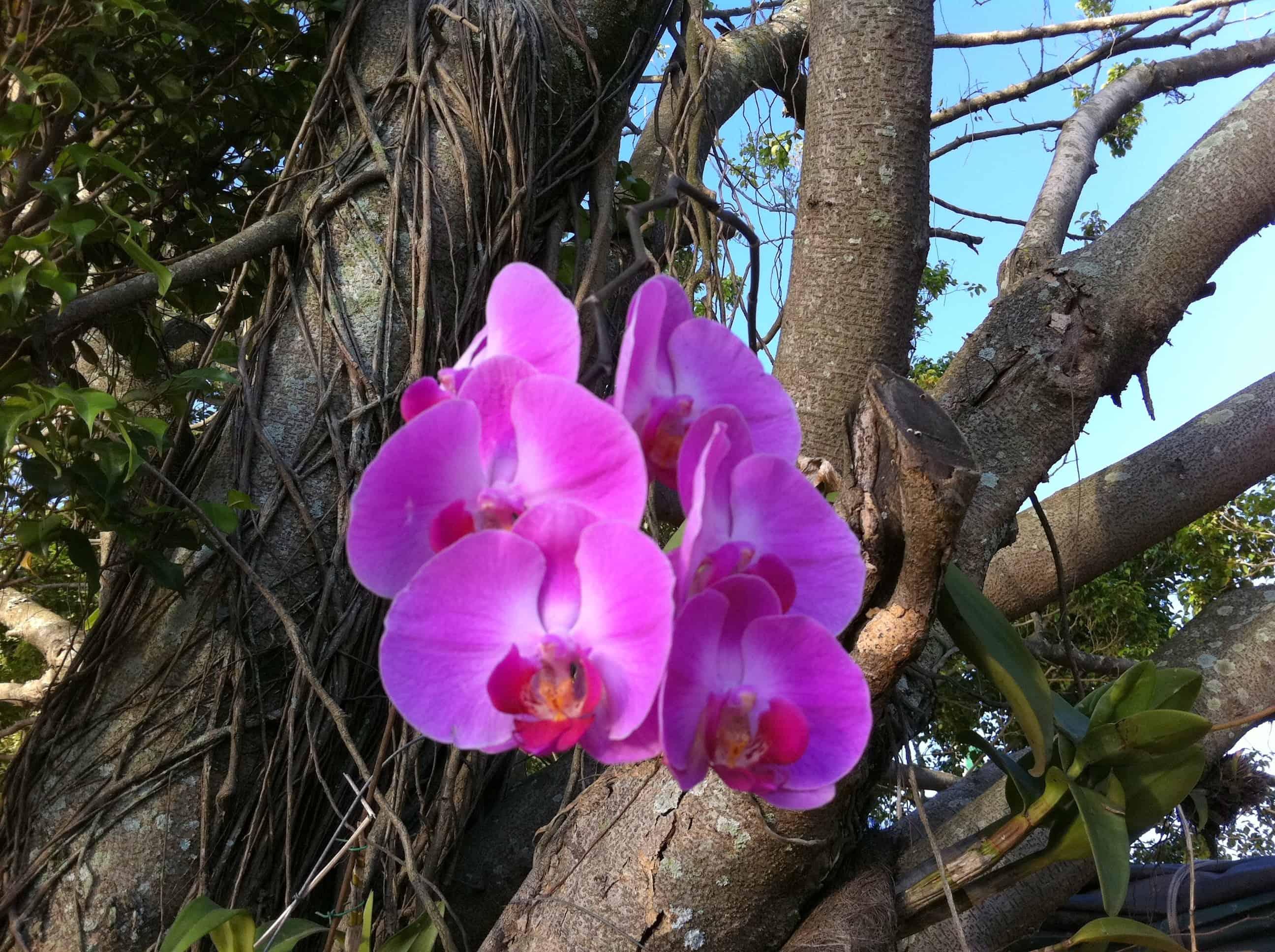 Orquídeas epífitas - Phalaenopsis