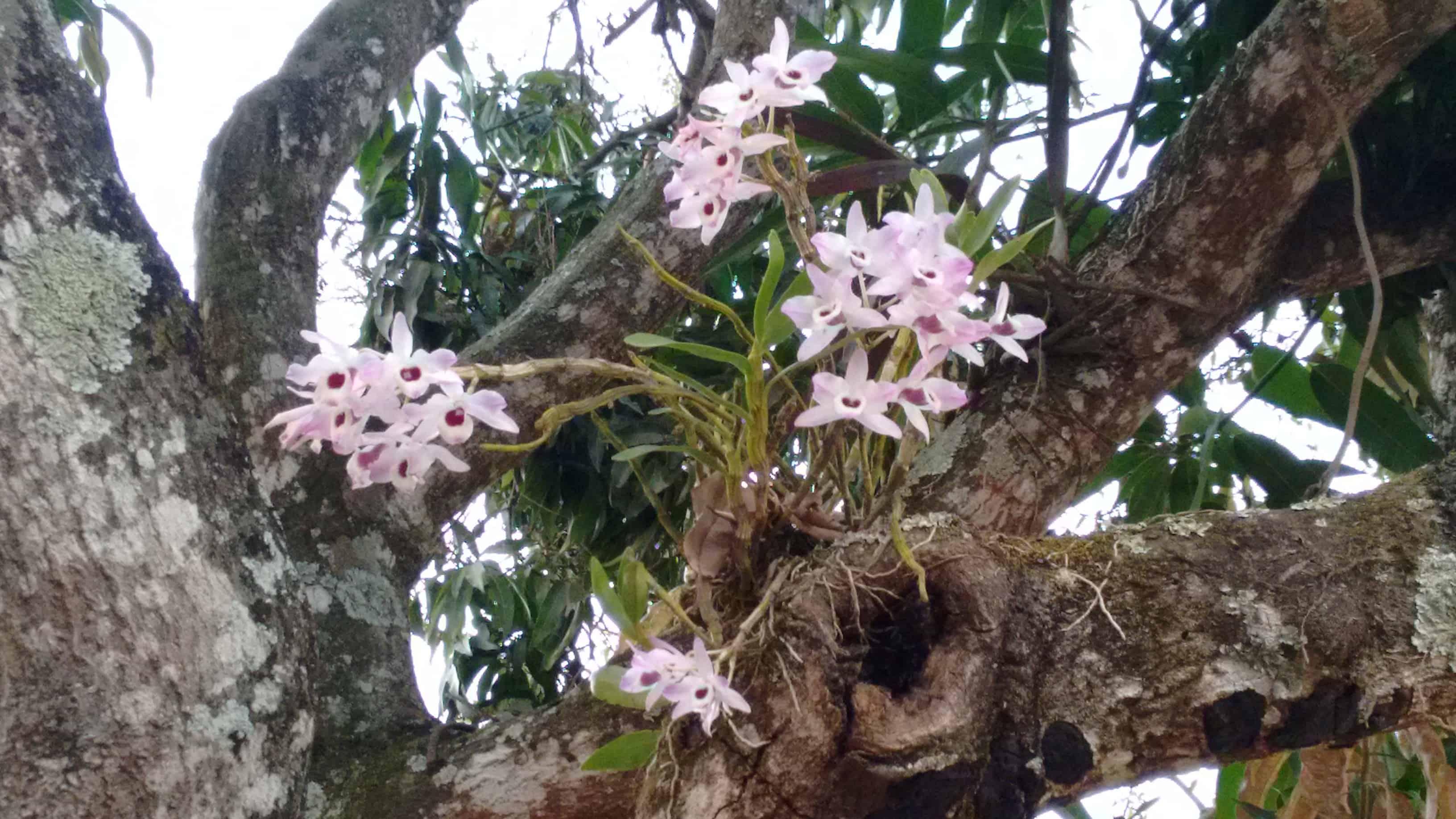 O cultivo das orquídeas epífitas depende da sua espécie.