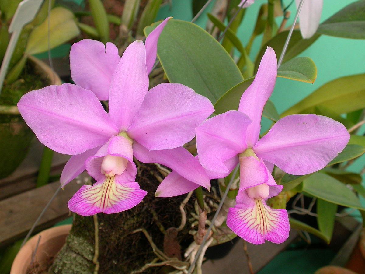 Orquídea Cattleya Nobilior