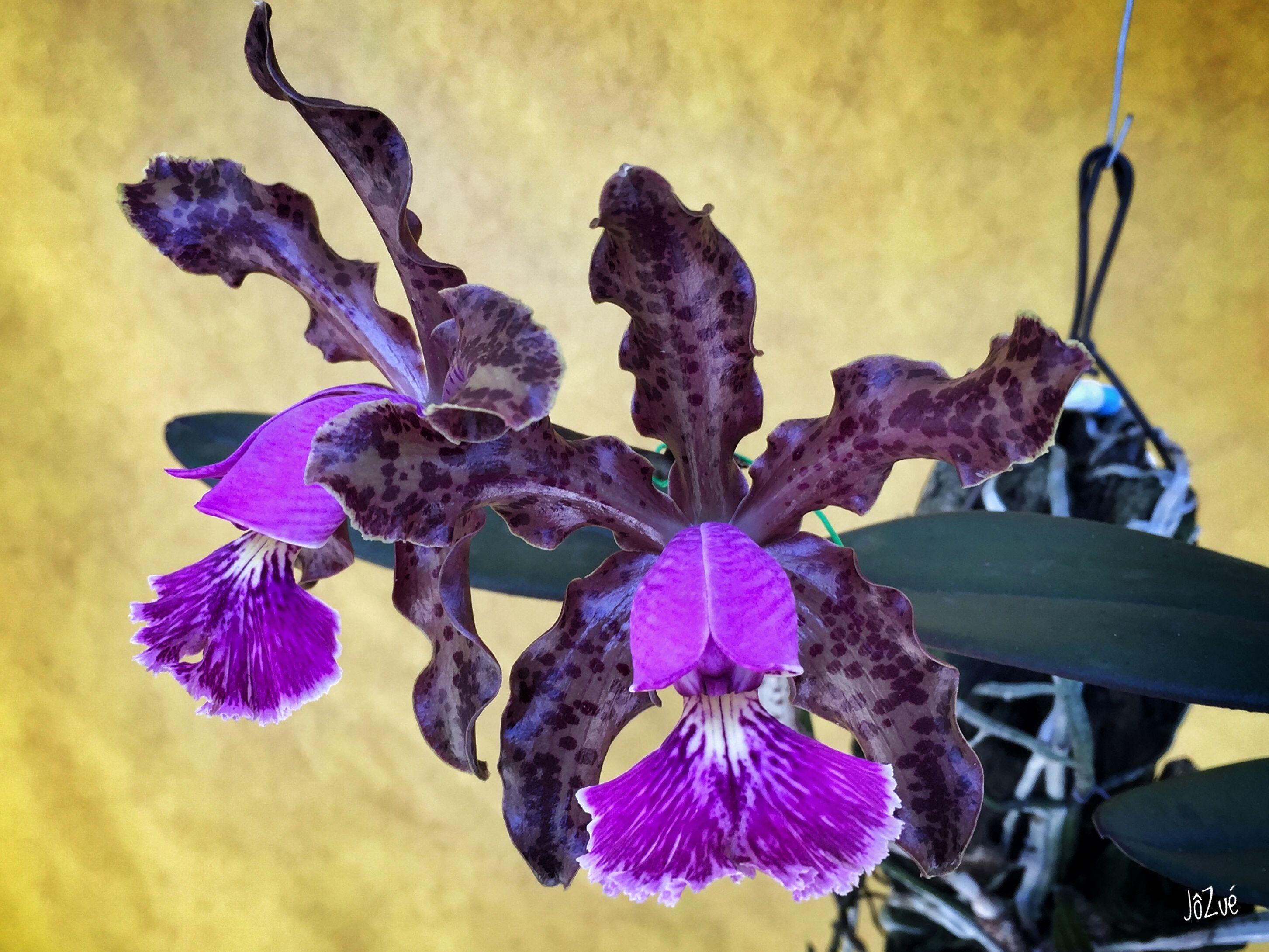 A orquídea rara Cattleya schilleriana é outra espécie brasileira extinta na natureza.