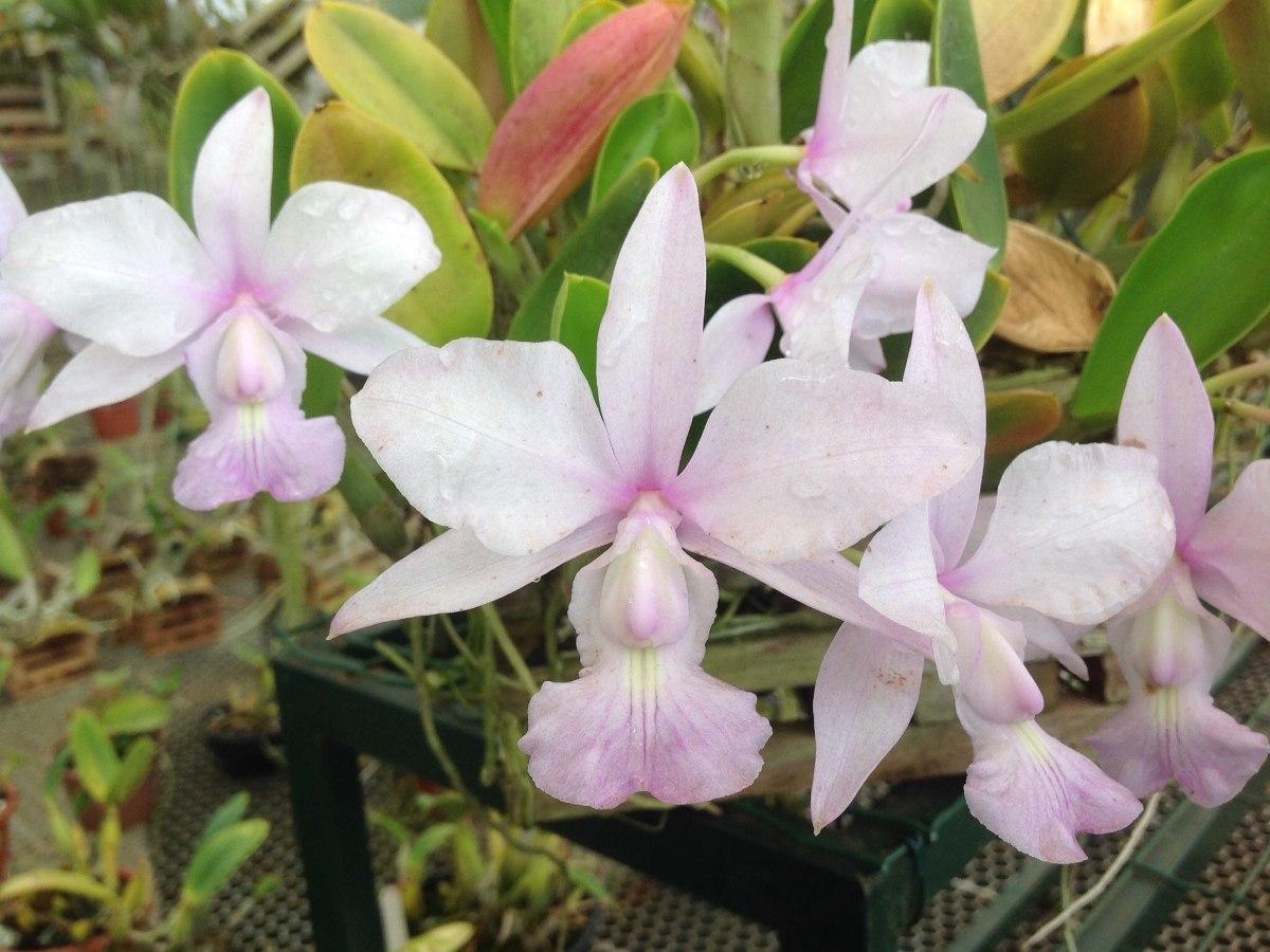 A orquídea rara Cattleya walkeriana é uma espécie brasileira em extinção.