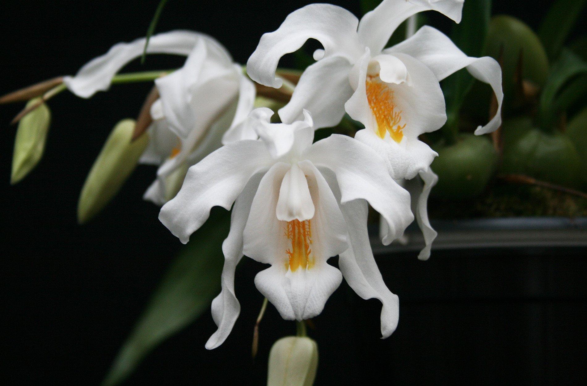 orquídea Coelogyne cristata