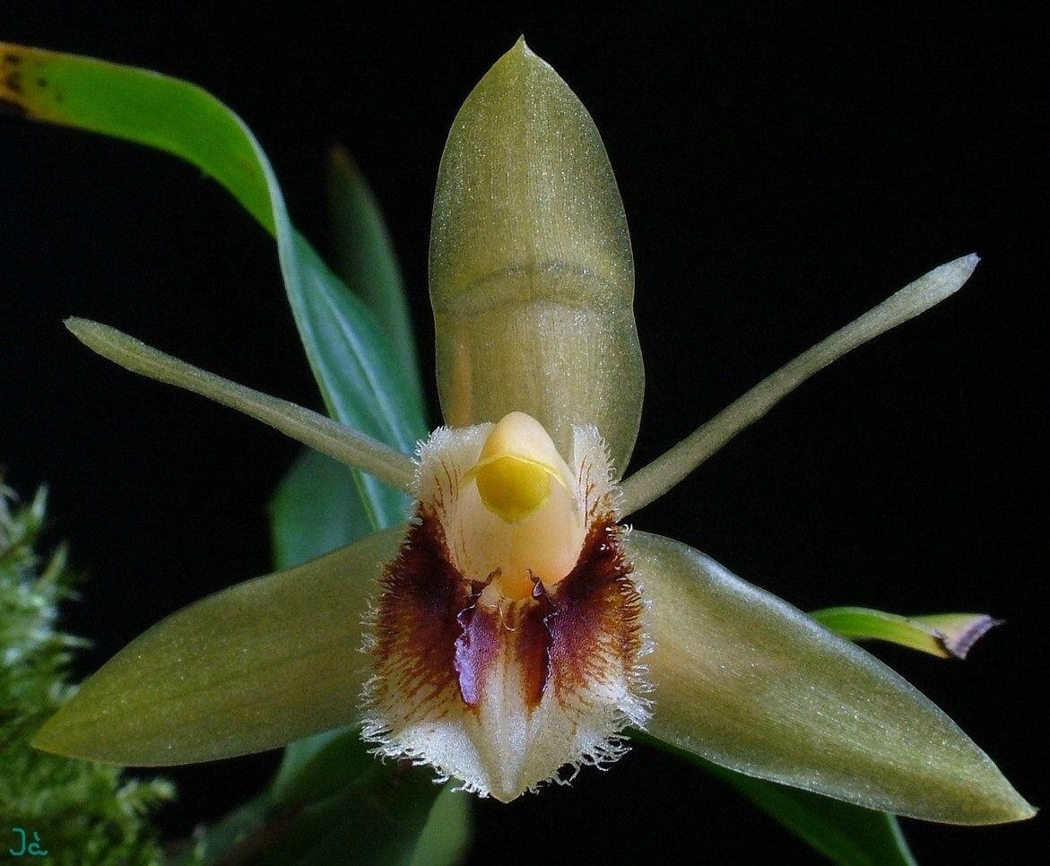 orquídea Coelogyne fimbriata