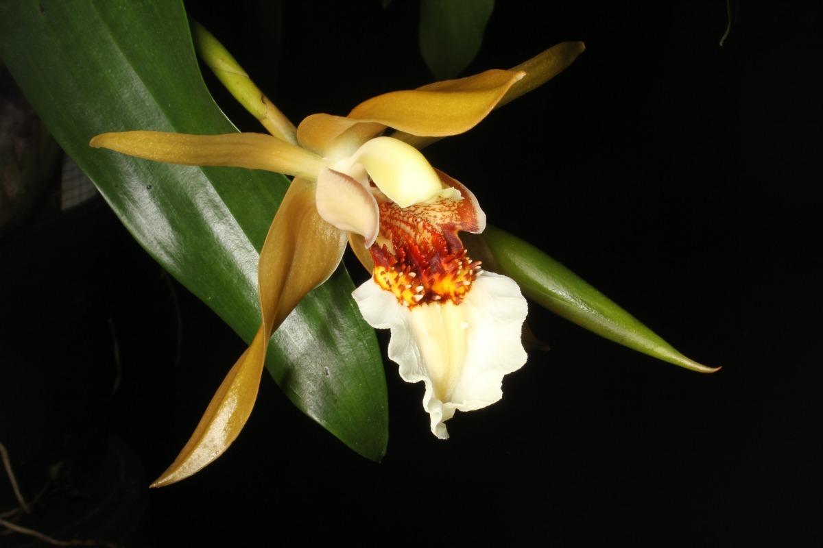 Orquídea Coelogyne lawrenceana