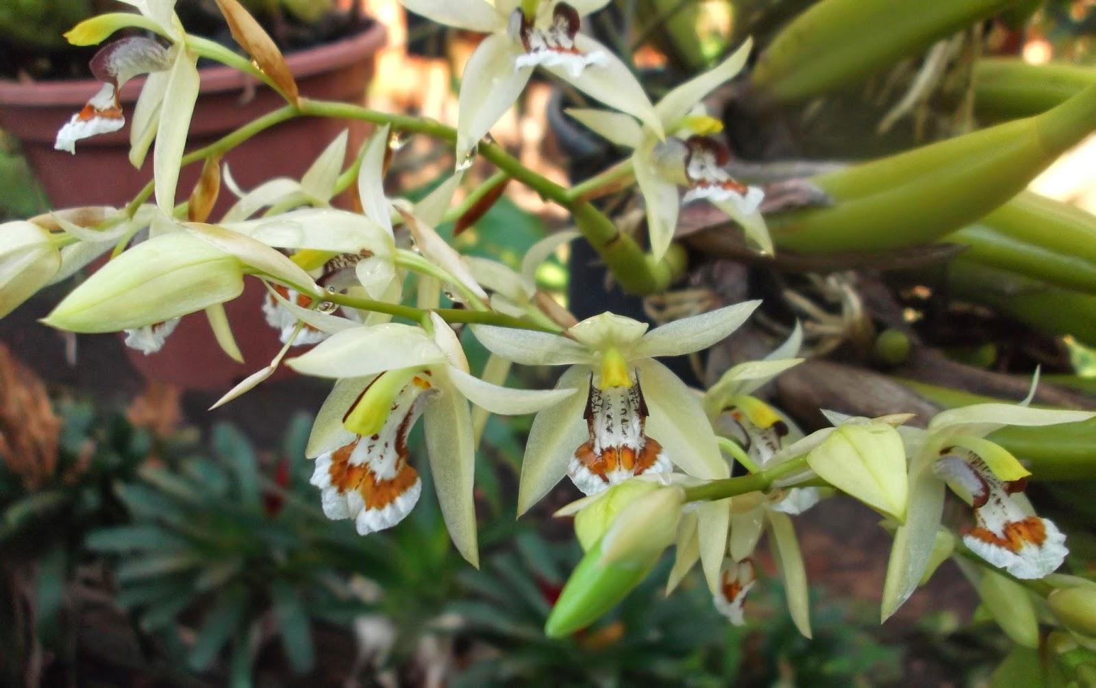 Orquídea Coelogyne lentiginosa