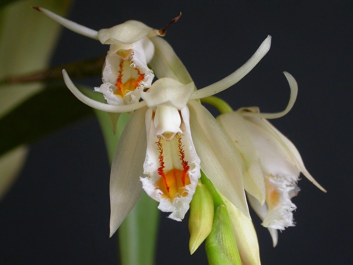 Orquídea Coelogyne calcicola