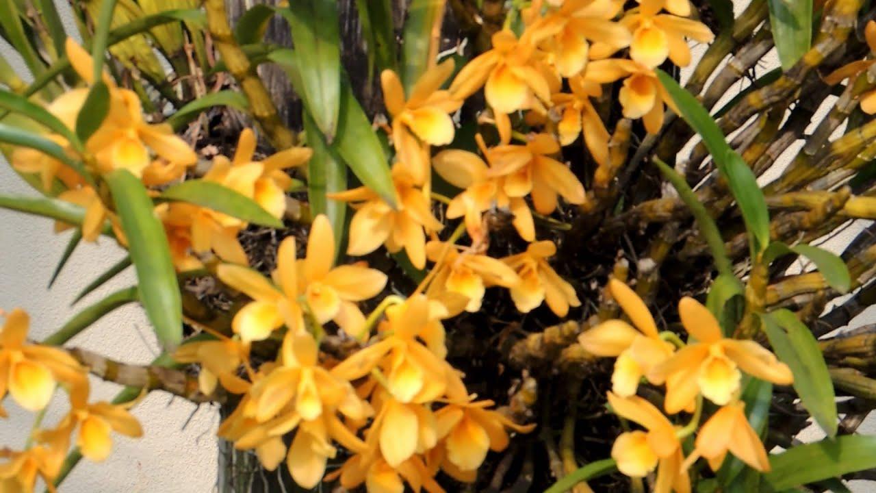 A Dendrobium em troncos é uma das mais populares.