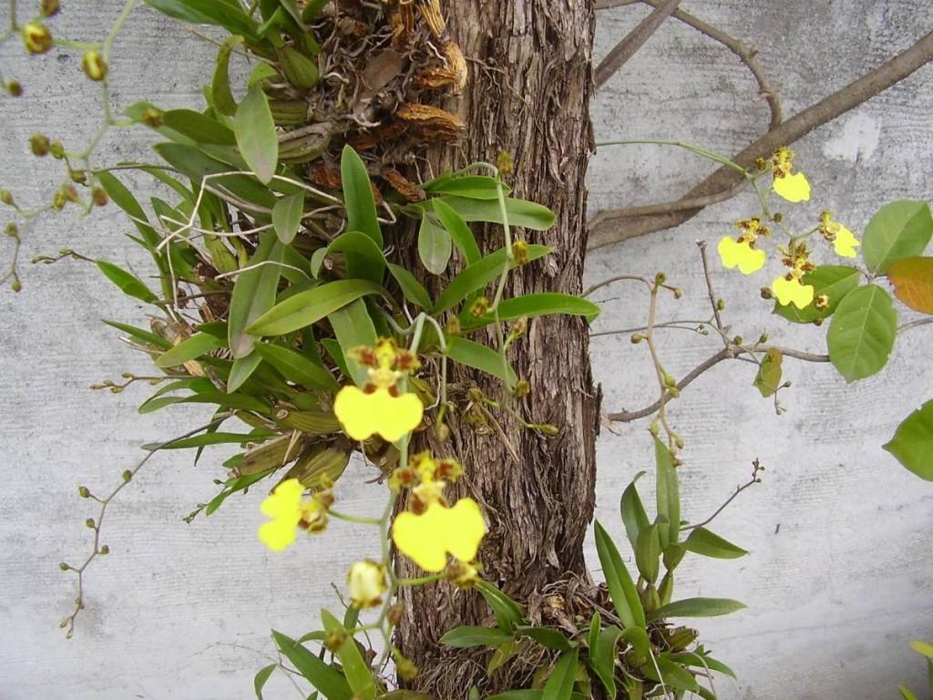 Oncidium em troncos também podem prosperar, como a orquídea Chuva de ouro