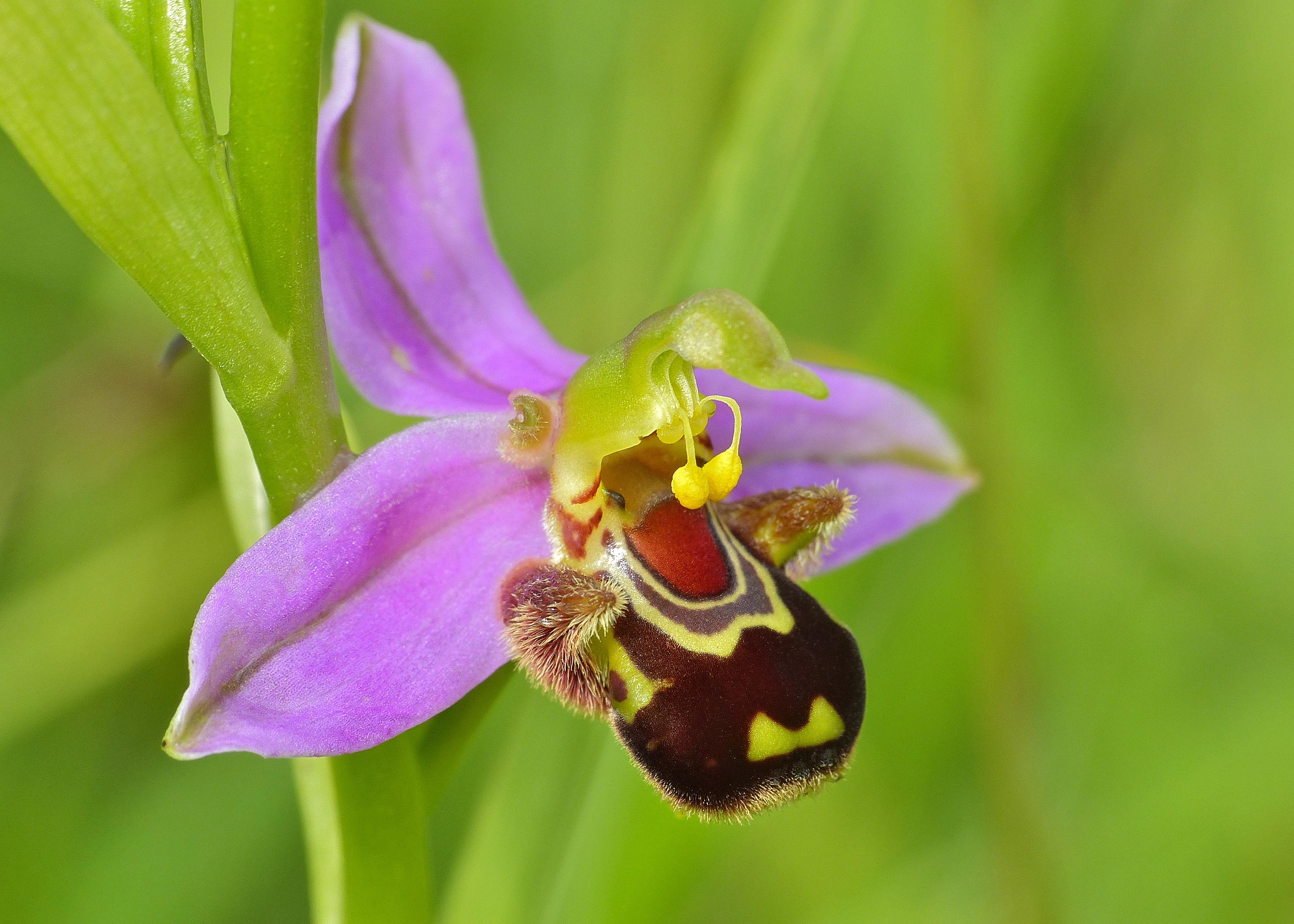 orquideas raras Ophrys apifera