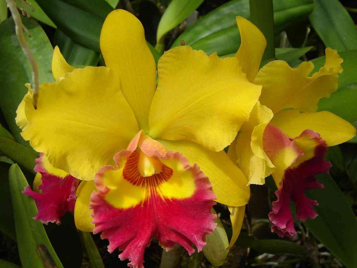 Plantar a orquídea Cattleya não tem mistério, basta fornecer o ambiente mais adequado.