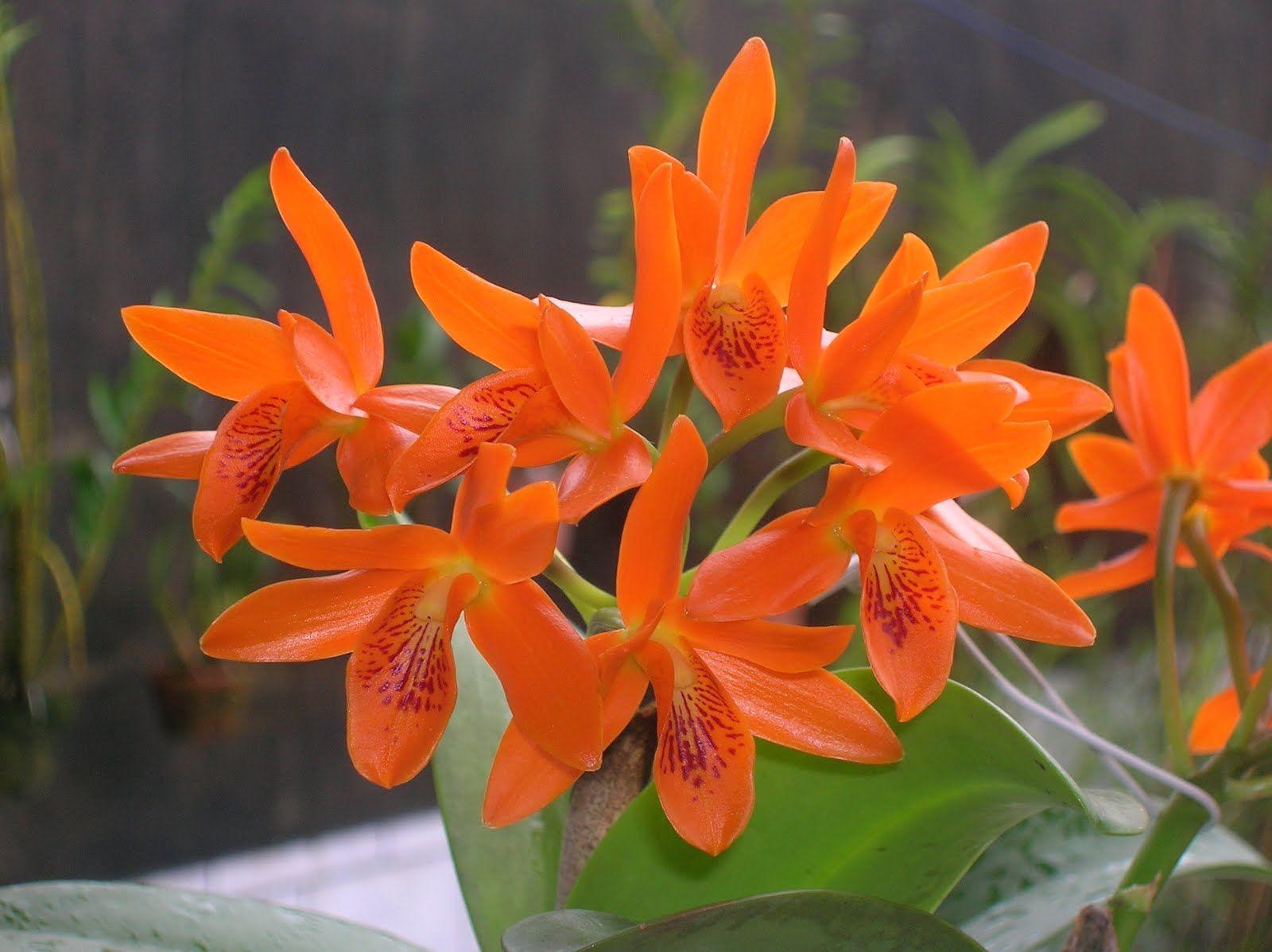A Orquídea Cattleya tem fácil cultivo.