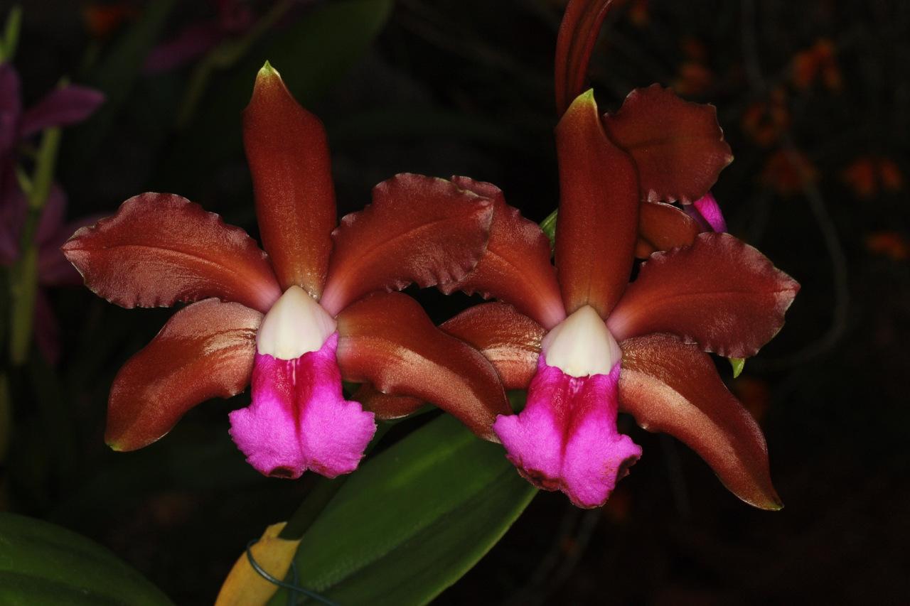 Orquídea Cattleya Bicolor