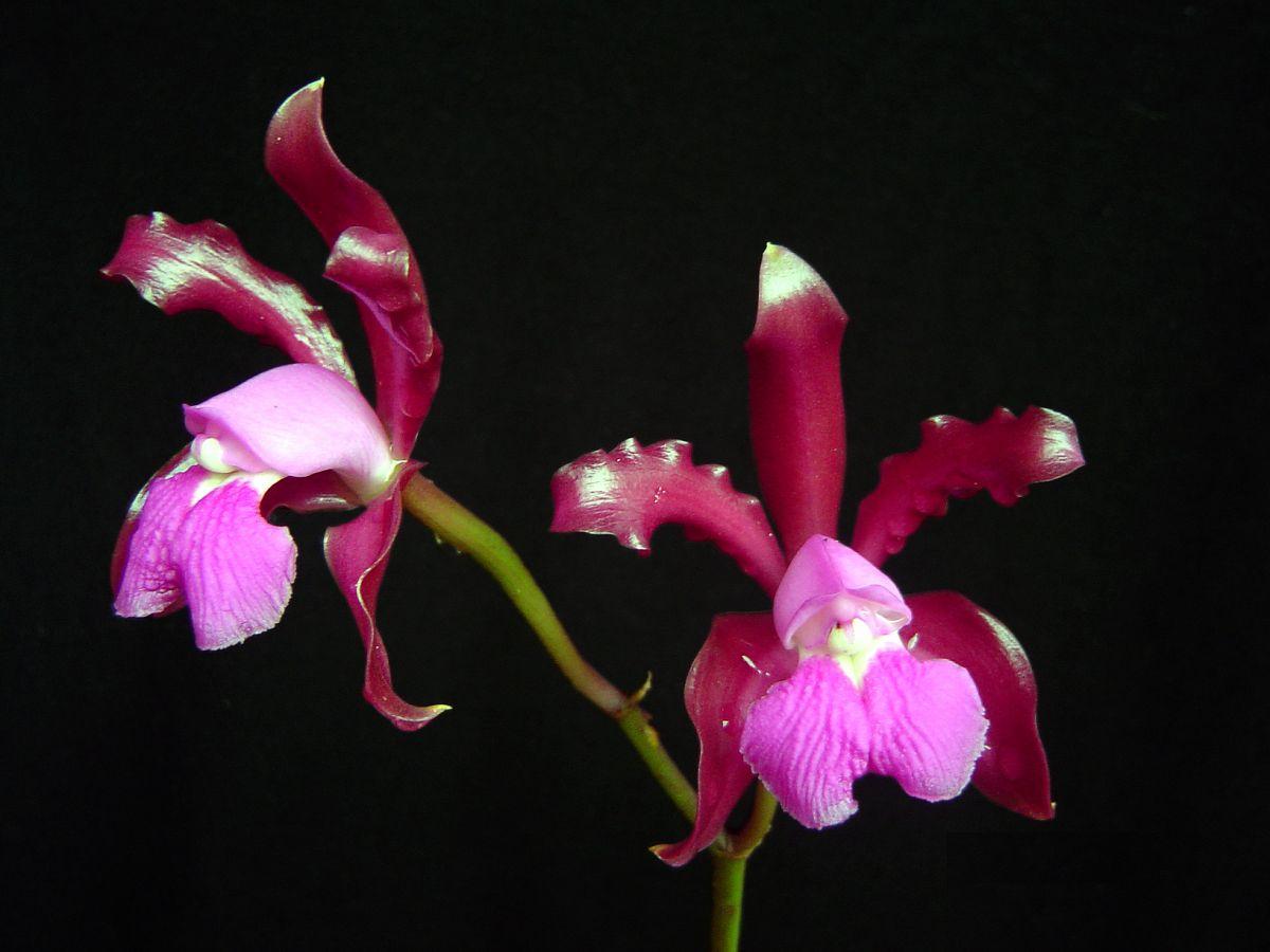 Orquídea Cattleya Elongata