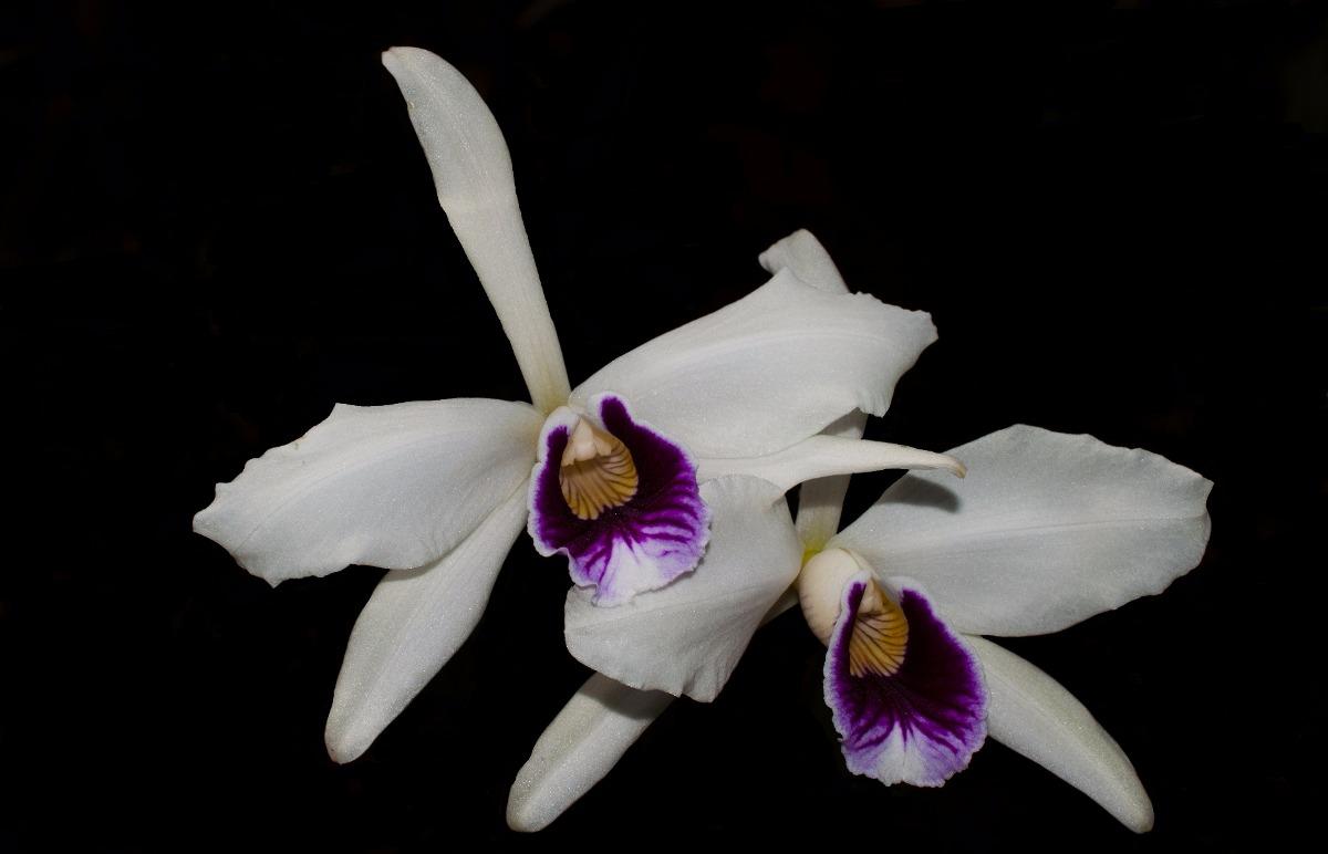 Orquídea Cattleya Purpurata