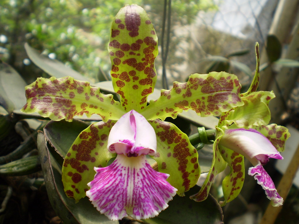 Orquídea Cattleya Schilleriana