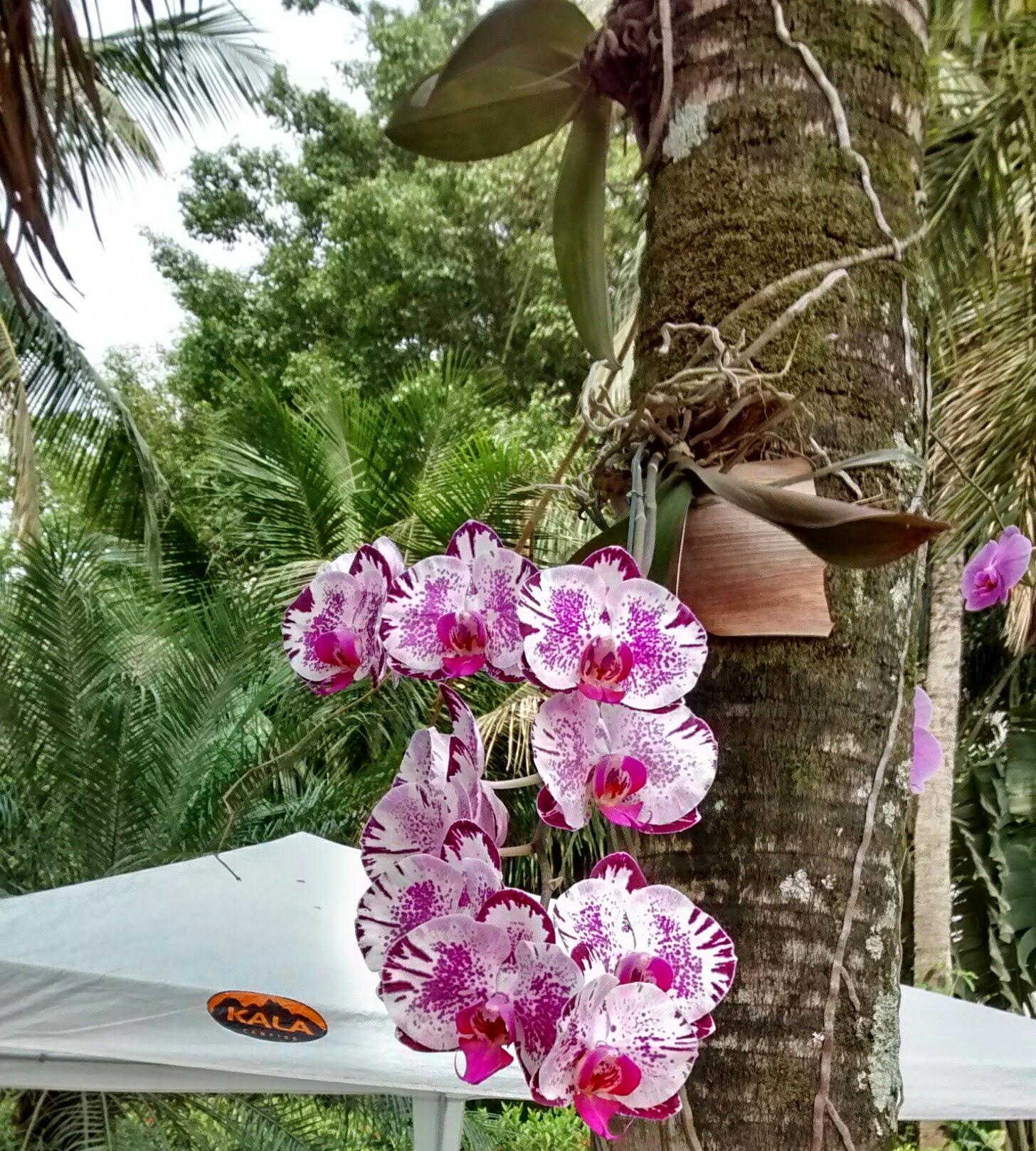 As orquídeas em troncos Phalaenopsis são as masi fáceis de cultivar.