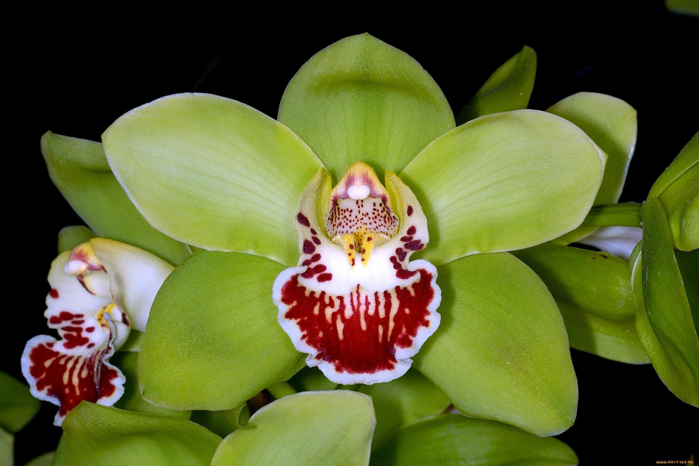 orquídeas raras: Shenzhen nongke