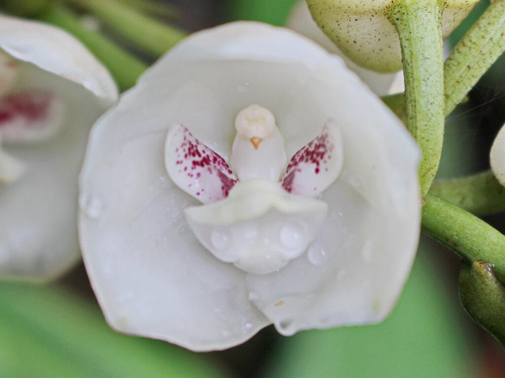 orquídeas raras Peristeria elata ou orquidea Espirito Santo