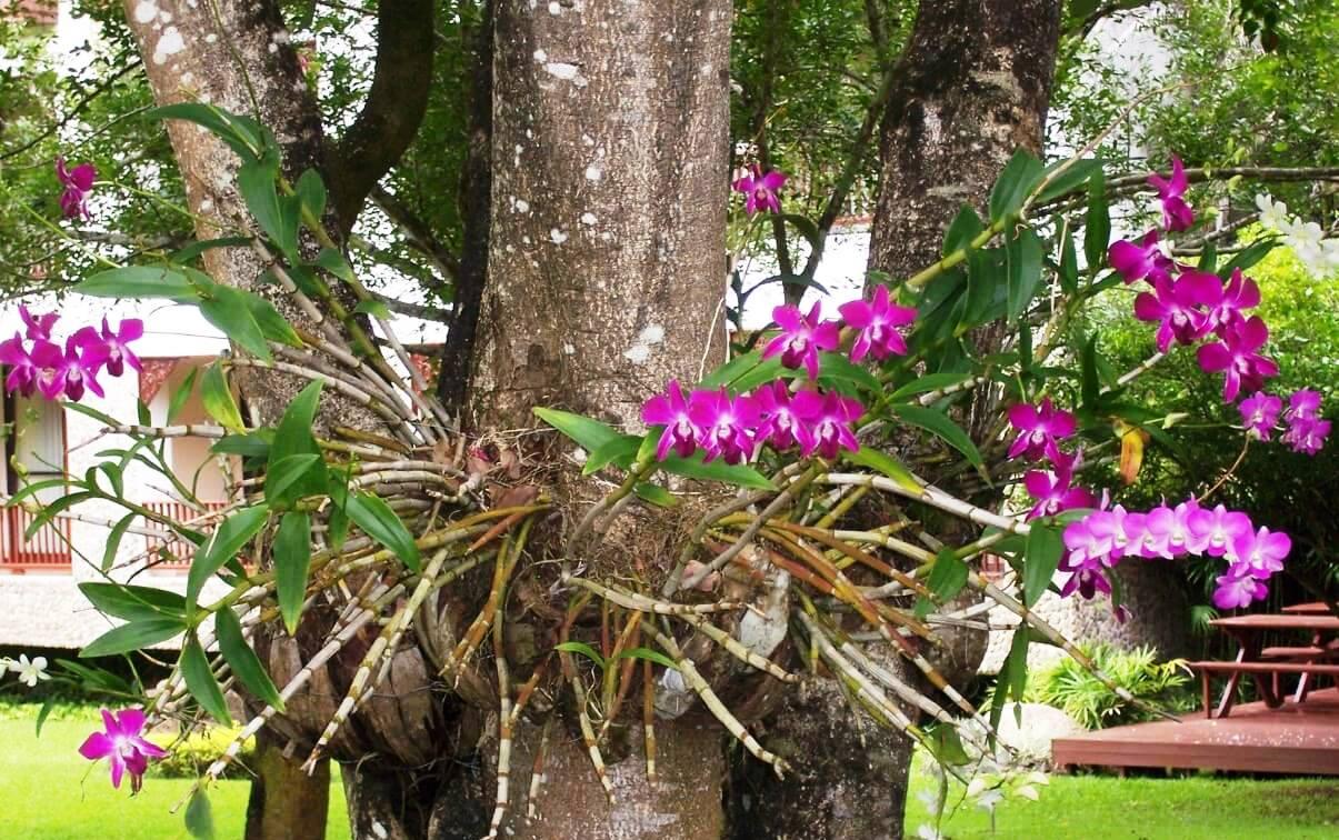 Algumas espécies de orquídeas em troncos são masi fáceis de cultivar.
